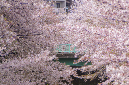 full blooming japanese pink cherry blossoms sakura trees along the famous Meguro river.