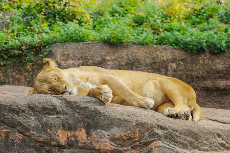wild female lion relaxing sleeping on the rock stone. 写真素材