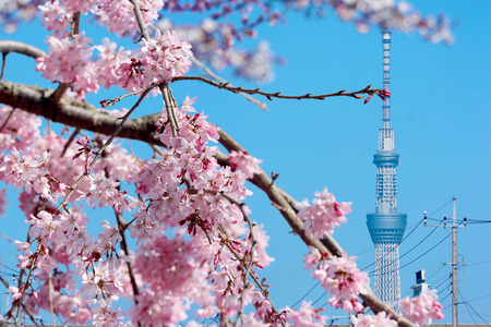 2019 March 28. Tokyo Japan. A Tokyo sky tree tower with full blooming pink cherry blossom sakura on spring season time.