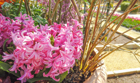 pink Hyacinth flower on sunny day time. Stock Photo