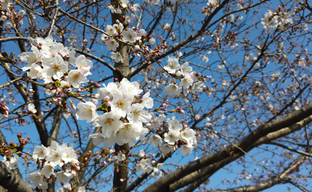 Japanese blooming white cherry blossom sakura branch tree with blue sky background.