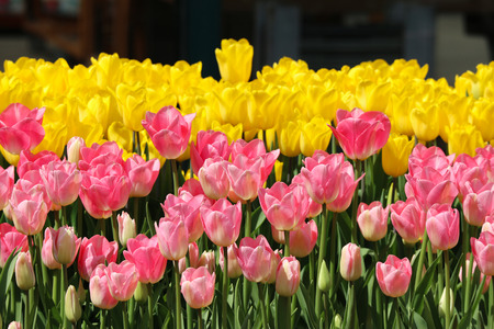 Beauty natural freshness yellow and pink tulip flower field land background. Imagens