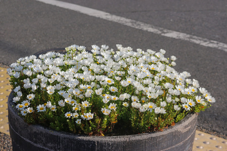 natural blooming White daisy flowers on the pot near the street. Stockfoto