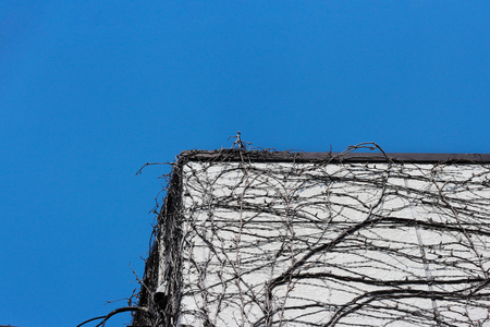 dry dead tree roots or branches on high building wall surface with blue sky background.