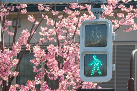 Green traffic light with full blooming Japanese Sakura cherry blossoms flowers trees as background.