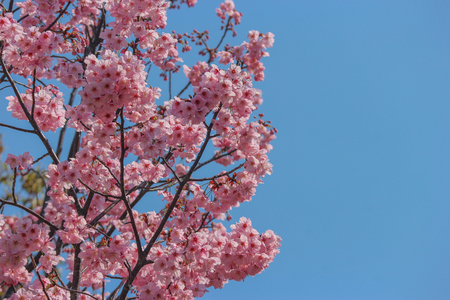 Japanese full blooming pink cherry blossom sakura branch tree with blue sky on spring season.