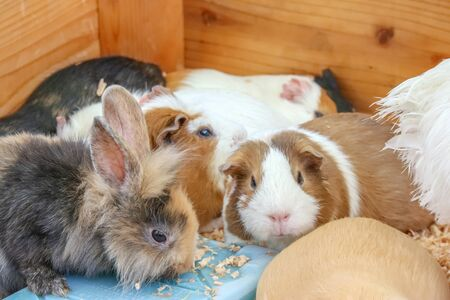 lovely cute adorable rabbit bunny with guinea pig live together from organic farm. 写真素材