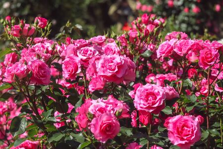 blooming pink rose garden on sunny day background. Stockfoto