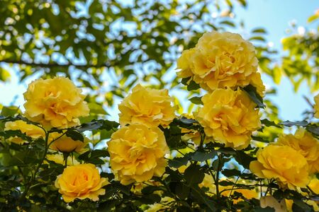 natural blooming yellow roses in the garden on sunny day background. Stockfoto