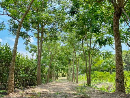 Natural Green trees row path way on summer day. Stockfoto