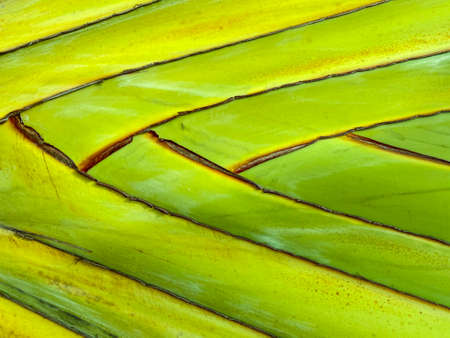 banana trunk tree surface texture background.