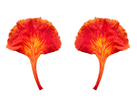 red Flam-boyant flower leaf isolated on white background. Stockfoto