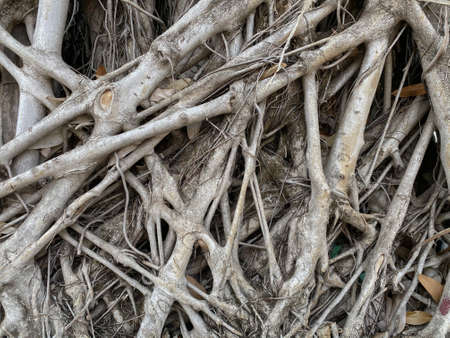 Natural banyan tree root path floor ground background.