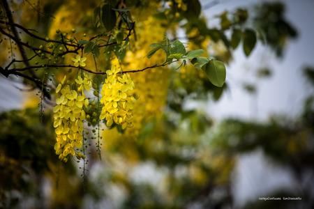 golden shower: Dok Koon (Golden Shower Tree)