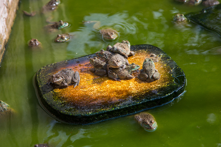 Many frogs are found in a pond in a frog farm in Thailand.