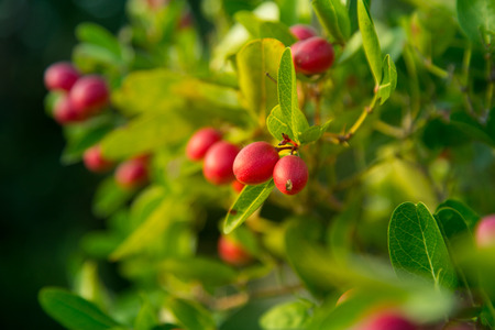Bengal Currants in Garden,Native fruits Thailand. Stock Photo