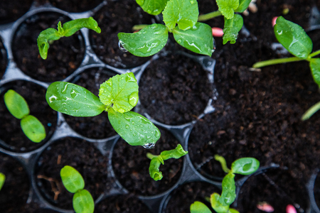 Organic melon seedlings in Seedling tray under greenhouse. Фото со стока