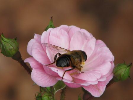 bee on flower: RoseBee Stock Photo