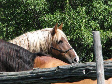 belgian: Belgian mare Stock Photo