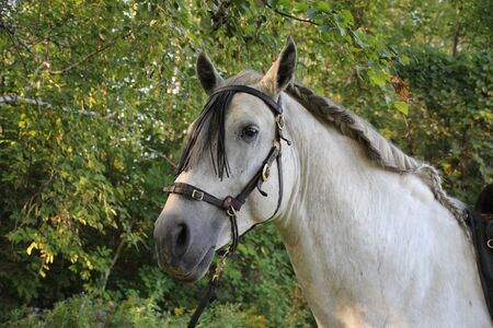 andalusian: Andalusian Stallion