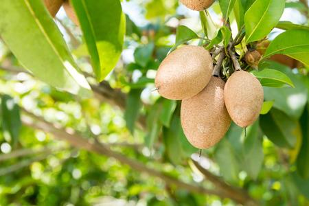 chock: Sapodilla fruit on the tree