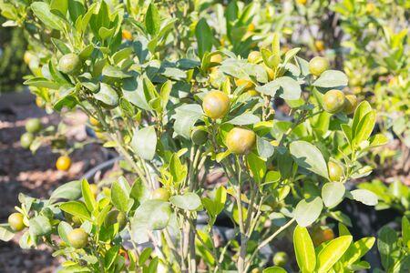 valencia orange: branch orange tree fruits green leaves in Valencia Spain Stock Photo