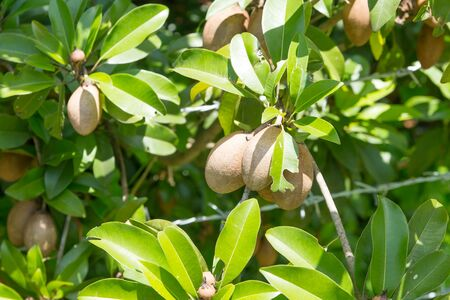 exceptionally: Ripening Sapodilla fruits in an organic garden. Other names - Zapota, Chikkoo Sapota. Sapodilla is a tropical, evergreen tree fruit (berry) with exceptionally sweet and malty flavor. Stock Photo