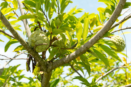 annona squamosa: Custard apple fruit,Annona squamosa