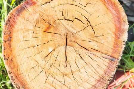 felled: stump of tree felled - section of the trunk with annual rings