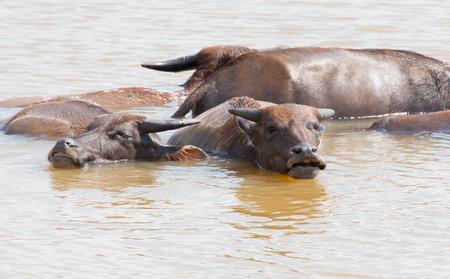 muddy: The big Buffalo in muddy  Ayuttaya Thailand