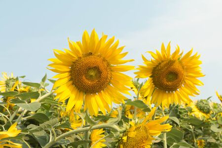 yellowrn: Beautiful landscape with sunflower field over cloudy blue sky and bright sun lights Stock Photo
