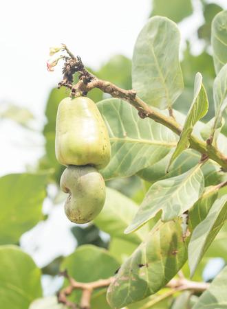 cashew tree: Cashew nuts growing on tree Stock Photo