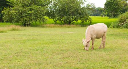 buffalo grass: Albino buffalo Pink buffalo chewing grass