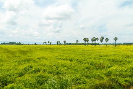 sugar palm: Green cornfield with sugar palm of the blue sky.