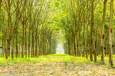 Rubber tree row agricultural Green leaves background.