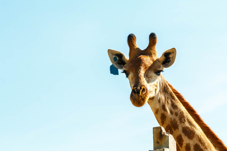Portrait of a curious giraffe over blue sky Banco de Imagens - 105103019