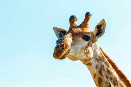 Portrait of a curious giraffe over blue sky Banco de Imagens