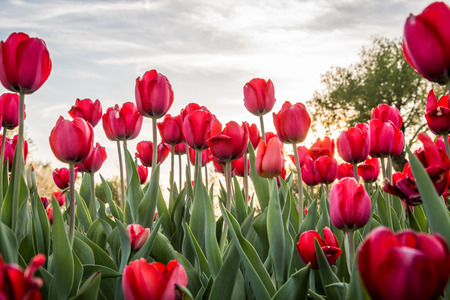 Beautiful Tulips in Ottawa