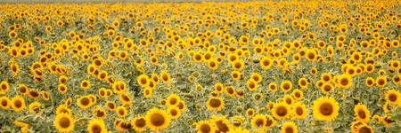 Sunflower flower of summer Stock Photo