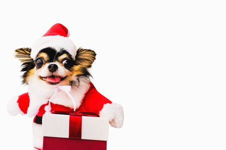 Selective focus, Chihuahua dogs wearing Santa outfits and hats. Happy smile with many colorful gift boxes isolated on white background,Christmas day and New Year's gifts