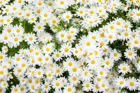 Daisy camomile flower.