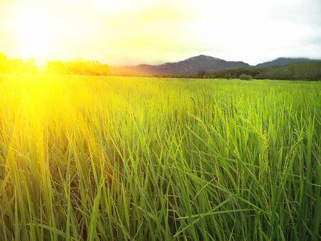 rice field in rainy season