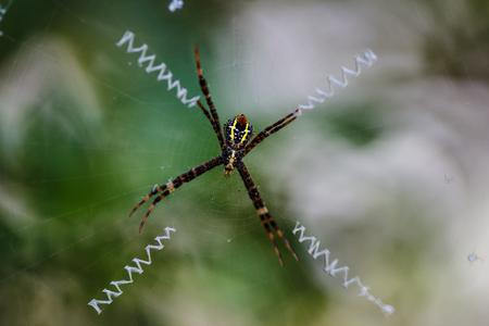weaver: weaver spider