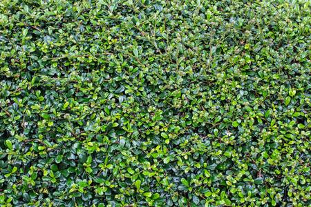 Full frame hedge background
