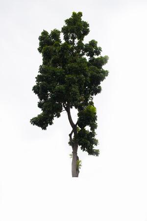 beautifull: Beautifull green tree on a white background