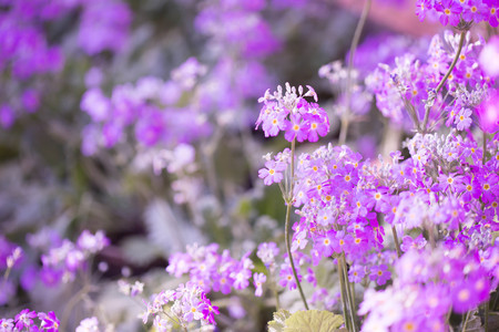 petites fleurs: purple background with small flowers