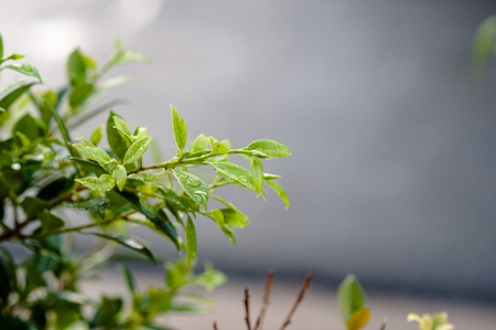 The leaves are not leafy in the rain. There are drops in leaves, shoots, leaves, soft leaves, the concept of natural care.