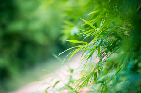 Bamboo forest green background Nature & Shade