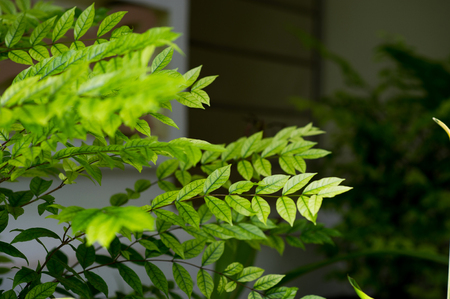 Beautiful leaves that affect the sun. And beautiful in nature. The leaves are not light green.