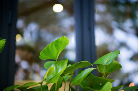 The leaves are not green with light passing in the morning. Our own coffee shop. Not many green leaves. Stock Photo